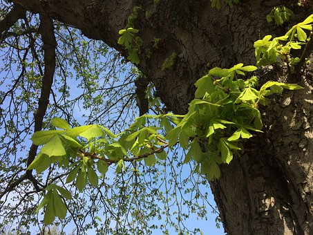 Chestnut, Bud, Stem Leaves, Sky