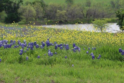 Flowers, Wildflowers, Texas, Springtime, Spring