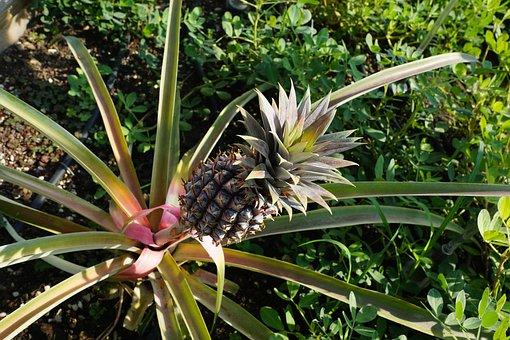 Pineapple, Grow, Green, Tree, Exotic, Park, Summer