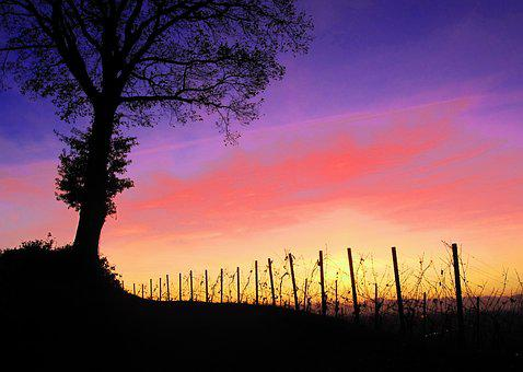 Good Night, Afterglow, Vineyard, Vines, Sunset