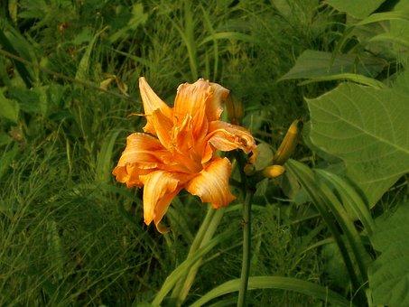 Lily, Yuri, Yabcanzou, 藪萱草, Orange, Liliaceae