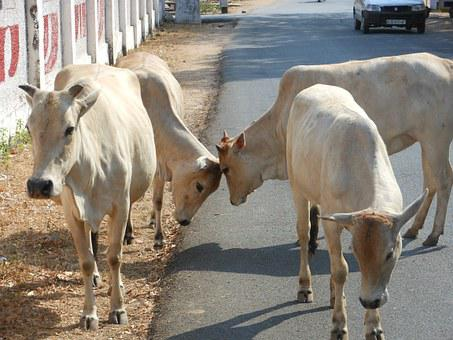 India, Cows, Sacred, Culture, Cattle, Hindu, Country