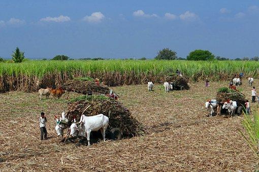 Sugarcane, Field, Harvest, Ox Cart, Countryside, Crop