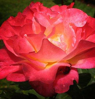 Rose, Deep-pink, Flower, Floral, Orange, Blooming
