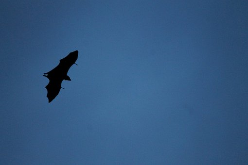 Bat, Fly, Migrating, Flying, Wildlife, High Fly