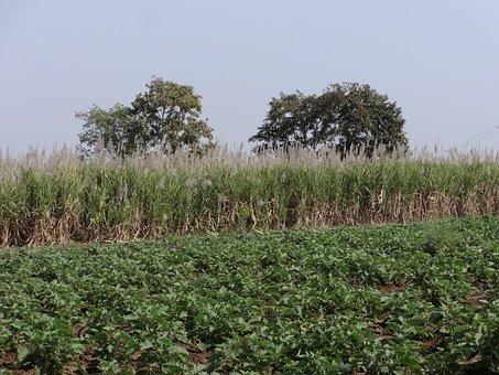 Sugarcane Field, Brinjal Plantation, India, Crop