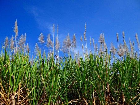 Sugarcane, Inflorescence, Flowers, Crop, Field, India