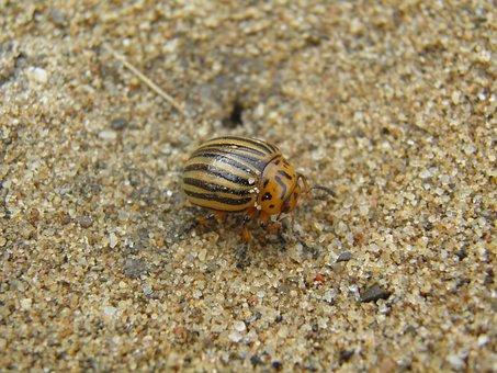 Potato Beetle, Kolorádóbogár, Sand