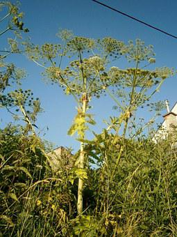 Heracleum, Plant, Weed, Pest, Plants, Green, Nature