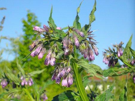 Comfrey, Wild Herb, Plant