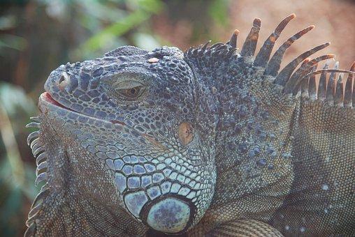 Lizard, Reptile, Loropark