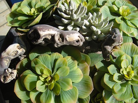 Agave, Plant, Root, Cactus, Nature