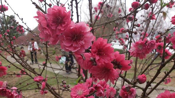 Spring, Peach Blossom, The Outskirts