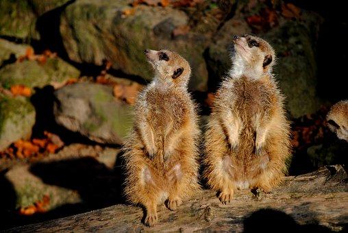 Meerkat, Zoo, Animals, Mammal, Nature, Timon, Animal