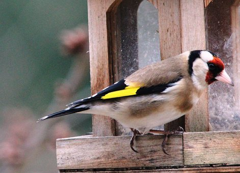 Stieglitz, Bird, Wing, Animal, Bill, Feather, Feed
