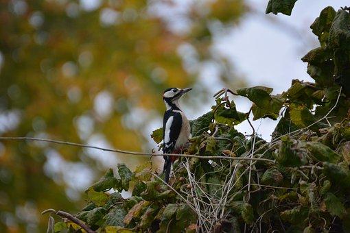 Great Spotted Woodpecker, Bird, Woodpecker, Animal
