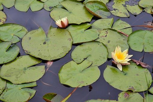 Lily Pads, Yellow Flower, Blossom, Pond