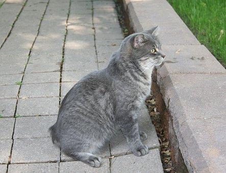 Cat, Grey, Pet, No Tail, Animal, Domestic, Feline, Manx