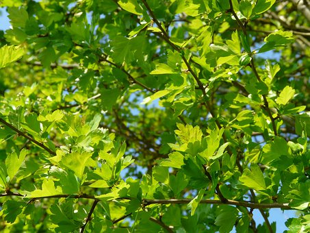 Eingriffeliger Hawthorn, Hawthorn, Hardwood, Bush