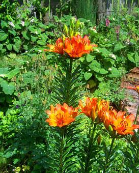 Fire Lily, Summer, Garden, Orange