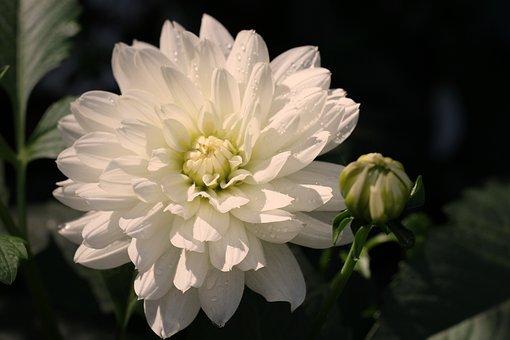 Dahlia, White, Blossom, Bloom, Flower, Dahlia Garden