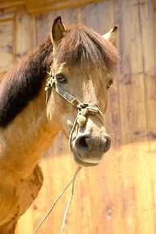 Horse, China, Gaul, Chinese