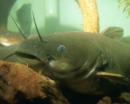 Natalis, Ameiurus, Underwater, Head, Fish, Bullhead