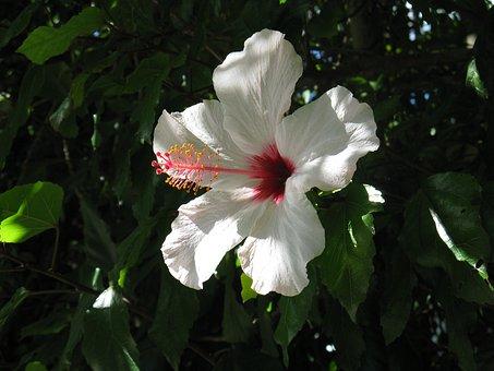 Lily, Flowers, White, Wild Flower, Wild Plant