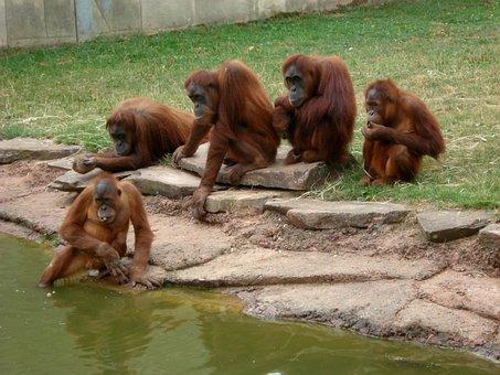 Zoo, Monkey, Animals, Monky, Fun, Orangutan