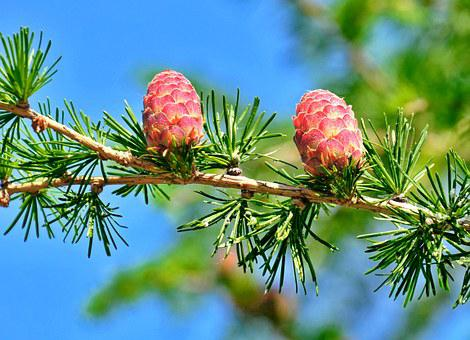 Pine, Cone, Crop