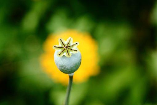 Poppyhead, Detail, Garden