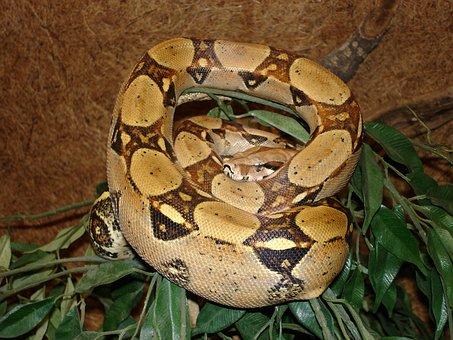 Red Tailed Boa, Snake, Boa Constrictor, Boa