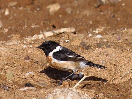 Stonechat, Birds, Bird, Animals, Nature
