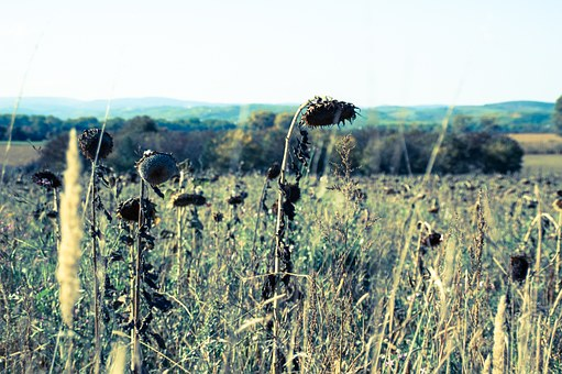 Sun Flower, Nature, Flower, Landscape, Faded