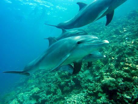 Dolphins, Marine Mammals, Diving, Underwater, Water