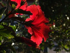 Lily, Flowers, Red, Wild Flower, Wild Plant