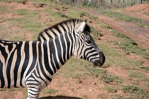 Zebra, Animals, Nature, Werribee Park Zoo, Zoo