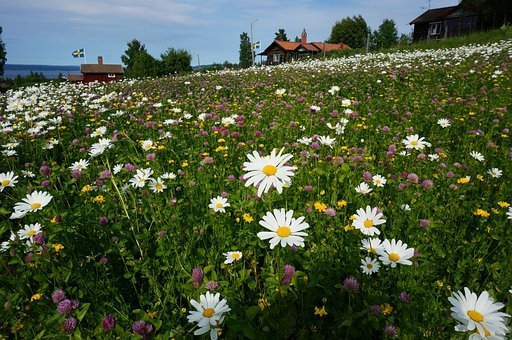 Daisy, Flower Bed, Tällberg, The Valleys, Bed, Nature