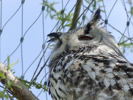 Siberian, White, Black, Owl, Feathered, Predator, Bird