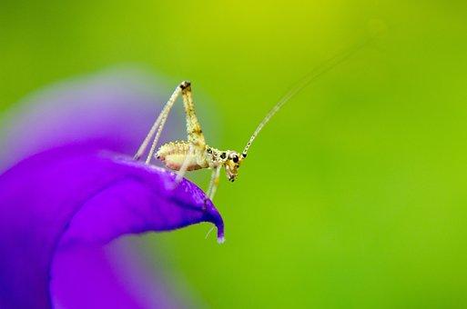 Cincér, Insect, Macro, Summer, Purple Flower