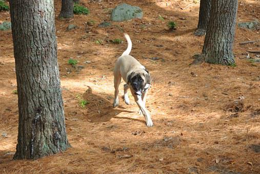 English Mastiff, Mastiff, Dog, English-mastiff, Animals