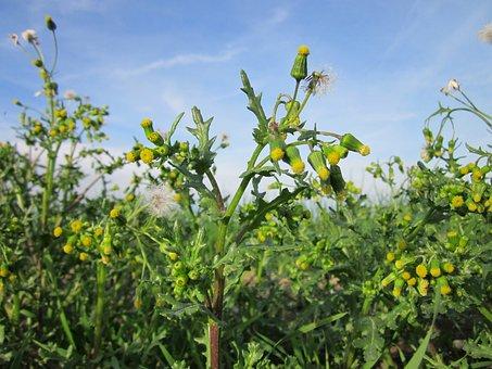 Senecio Vulgaris, Common Groundsel, Wildflower, Flora
