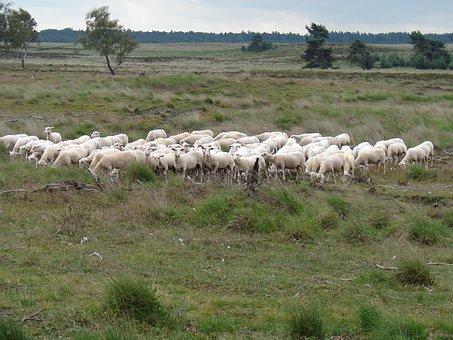 Sheep, Herd, Heideveld, Together, Nature, Landscape