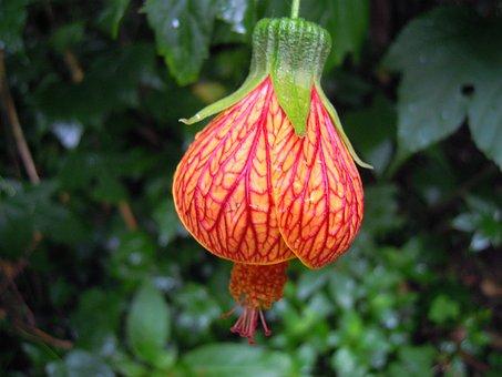 Lantern Hibiscus, Lantern Flower, Spring