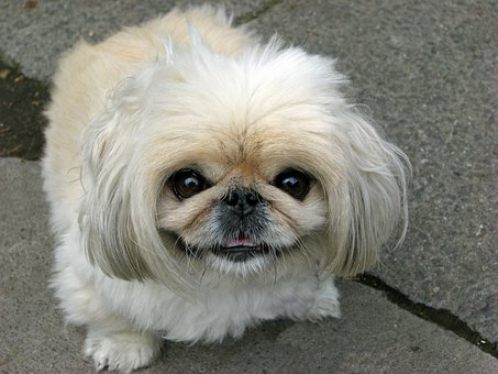 Dog, Pekingese, Beautiful, Animal, Cute, Canine, Pet