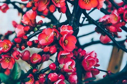 Tree, Flowers, Red, Spring, Nature, Summer, Leaf