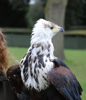 Eagle, Predator, Sharp, Eyed, Close, Up, Raptor