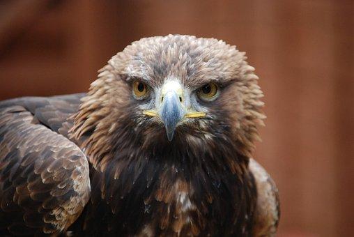 Eagle, Sharp Eyed, Predator, Bird, Fly, Wings, Feather