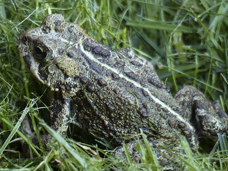 Toad, Amphibian, Animal, Fat, Thick, Close-up, Nature