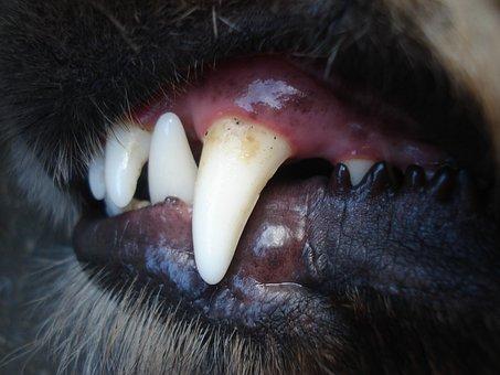 Dogs, Baring, Tooth, Teeth, Fang, Dog